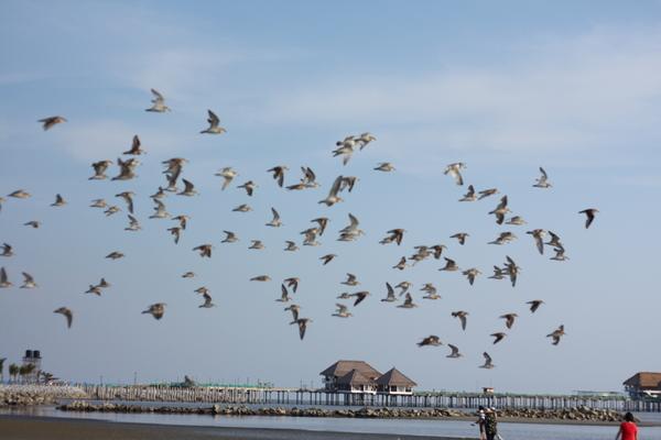Migratory Birds In Bagan Lalang