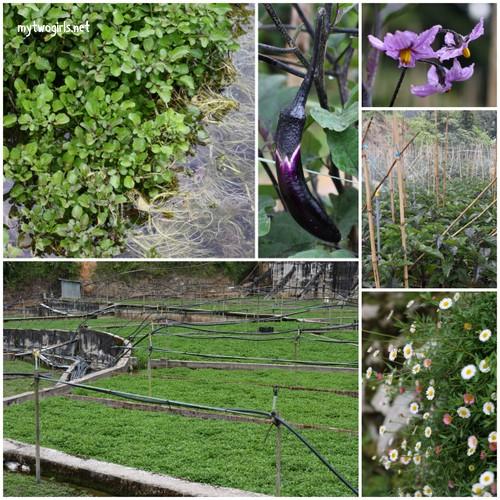 Watercress farm