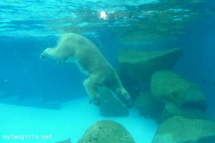 Polar Bear swimming