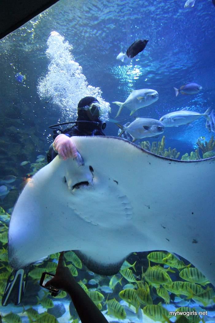 Scuba diver feeding sting ray