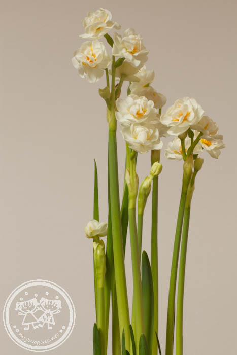Narcissus for Chinese New year