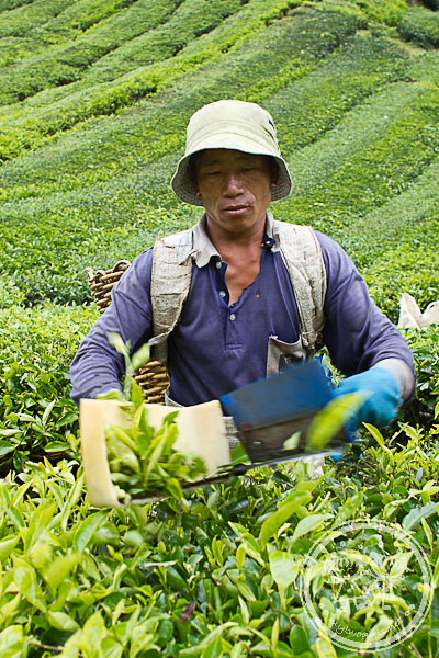 Tea picker at work