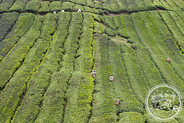 Workers working at Sungai Palas Tea Plantation