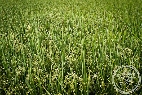 Sekinchan padi field