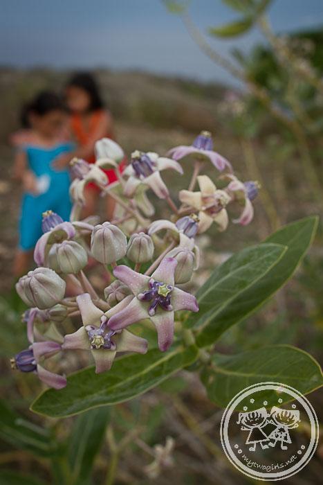 Tanjung Ringgit flower