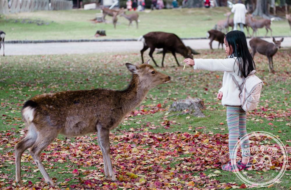 Zaria training a deer at Nara Park