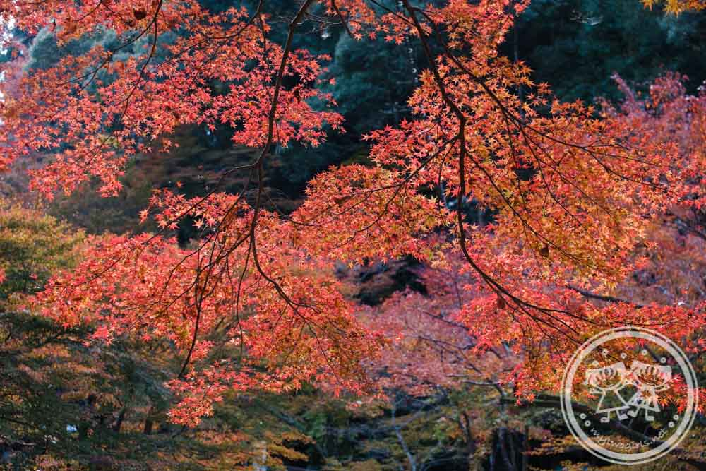 Takao Autumn Leaves