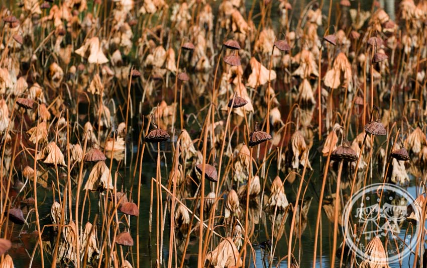 Dried lotus plants in the Osawa Pond