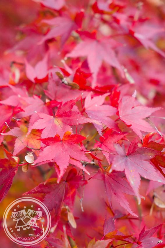 Daikakuji Autumn Leaves
