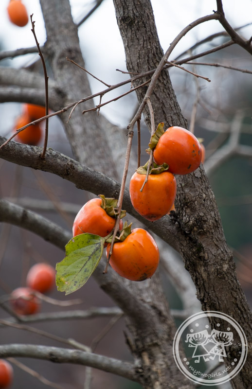 Persimmons tres at Gokayama