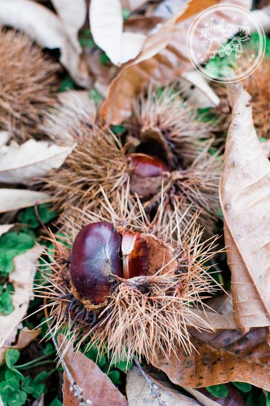 Fallen Chestnuts