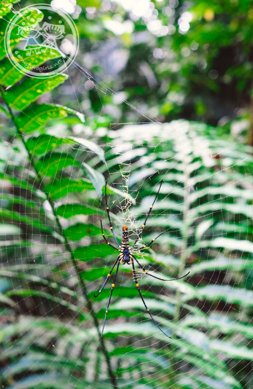 Spider at Bukit Larut