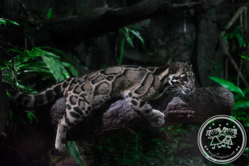 Clouded leopard at Night Safari Taiping Zoo