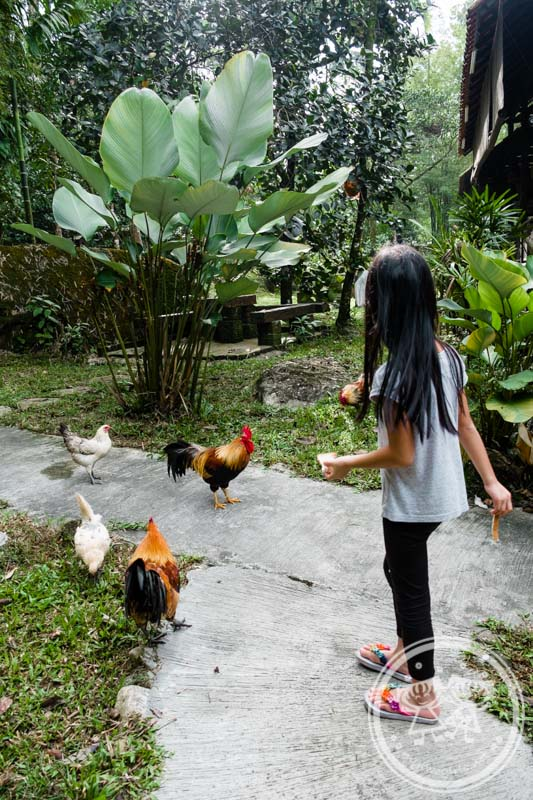 Feeding chickens at Villa Sentosa